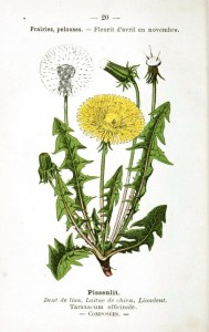 dandelion illustrated two